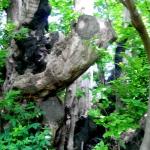 mysicily-comsantalfio-the-tree-of-the-hundrend-knights-etna-by-vanvakys